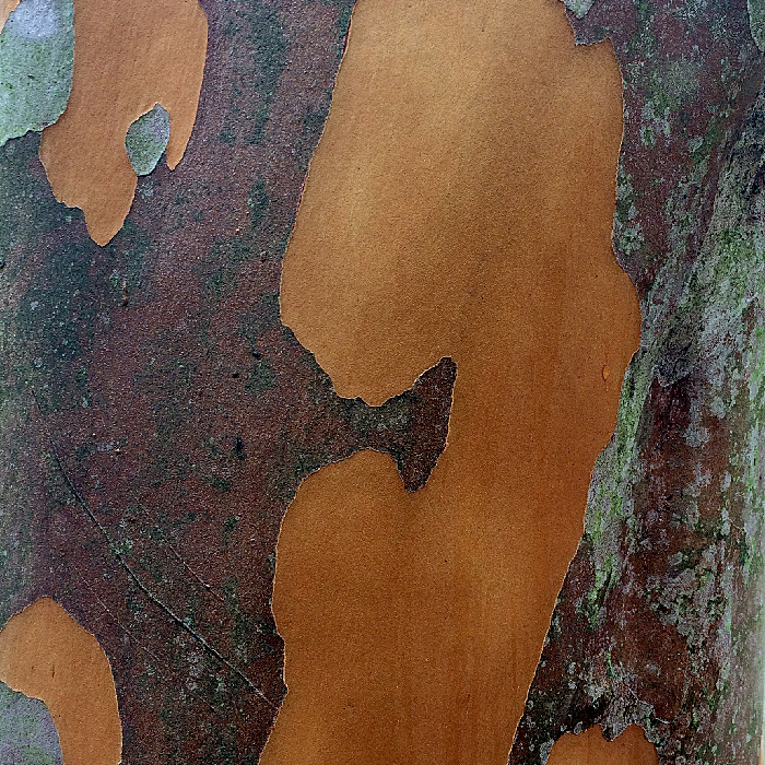 Image of Tall Stewartia Bark