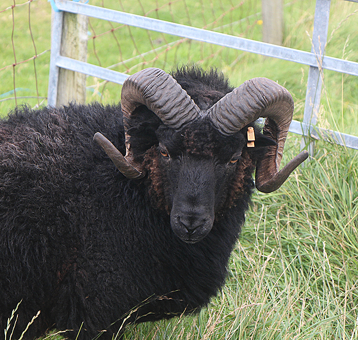 Image of Black Sheep