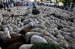 Inquirer article on Sheep in Madrid